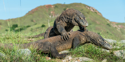 The Fighting Komodo dragon (Varanus komodoensis) for domination. It is the biggest living lizard in the world. Island Rinca. Indonesia.