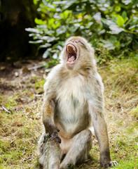 Barbary Macaque Yawning