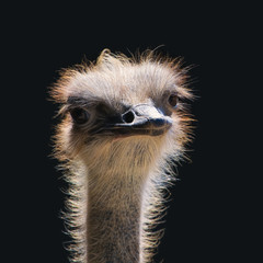 Female Ostrich in backlight