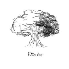 olive tree, vector sketch