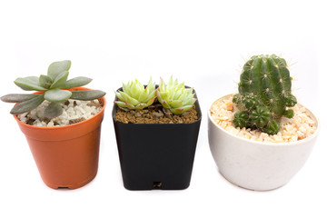 cactus in flowerpot on white background
