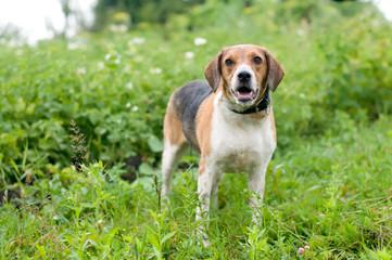 Estonian hound portrait