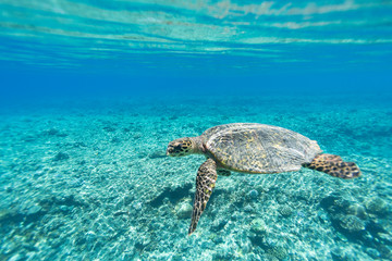 Sea Turtle (Hawksbill Turtle - Eretmochelys imbricata) swims in turquoise blue water of Indian ocean, Maldives. Underwater photo.