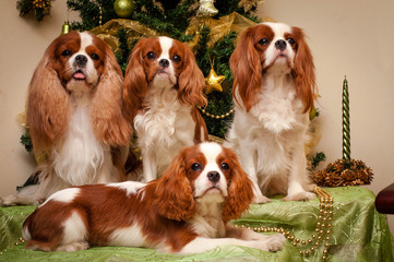 Cavalier King Charles Spaniel on the background of the Christmas tree