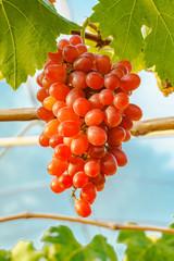 Fototapete - Beautiful Crimson seedless grapes