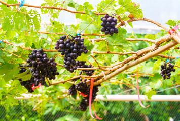 Fototapete - Marroo Seedless grapes on a vine