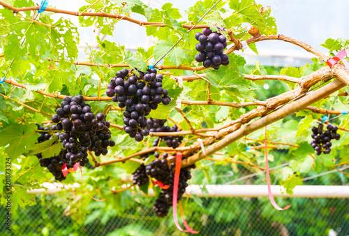 Fototapete Marroo Seedless grapes on a vine