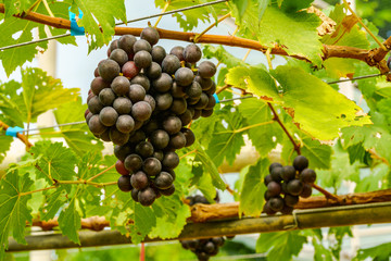 Fototapete - Bunches of Marroo Seedless Grapes