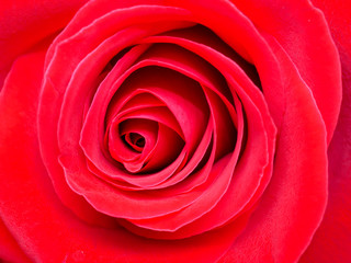 Closeup red rose flower 2