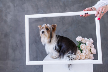 Closeup Portrait of yorkshire terrier dog with a bouquet  roses in  picture frame