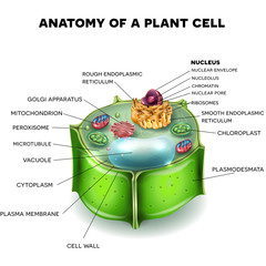 Plant Cell structure, cross section of the cell detailed anatomy