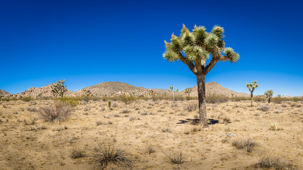 Panoramic view of Joshua tree and horizon in the Mojave desert, Joshua Tree, California