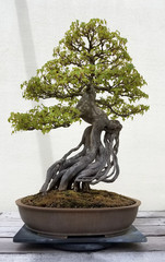 Bonsai and Penjing landscape with miniature deciduous tree in a tray