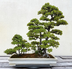 Bonsai and Penjing landscape with miniature trees in a tray