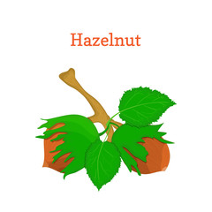Vector illustration of hazelnuts. Branch hazel nut tree with with leaves. Filbert nuts can be used as packaging design element chocolate,, muesli, printing brochures on healthy and vegetarian diet
