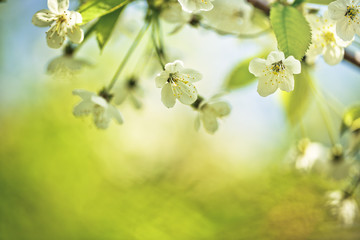 Chery Blossoms in SPring