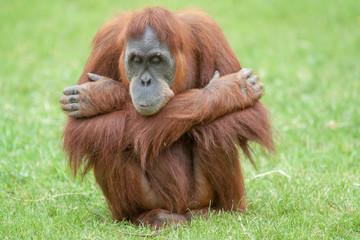 Orang outan - Pongo pygmaeus - en gros plan  Fotomurales