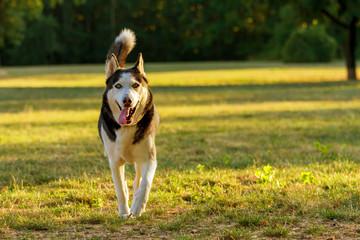cute dog husky running on the grass