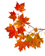 Branch of autumn leaves isolated on white background
