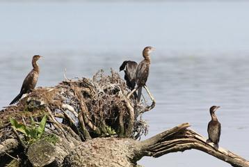 Cormorant flock, Pygmy Cormorant, Phalacrocorax pygmaeus