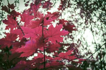 Vibrant-red amazing autumn leaves maple background