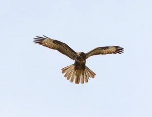 Common Buzzard in flight, Buteo buteo