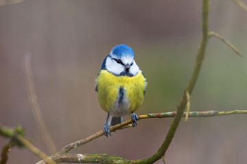 Printed roller blinds Bird Blue tit sitting on a branch and watching