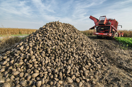 Pile of organic beet sugar at the field after combine harvesting with blue sky and clouds in background