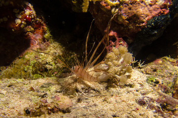 portait of a little lionfish