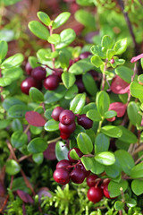 Bunches of ripe cranberries