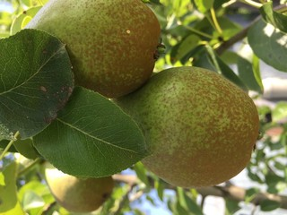 the fruit of pear on the tree branch.