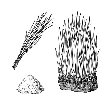 Barley grass and powder vector superfood drawing. Isolated hand