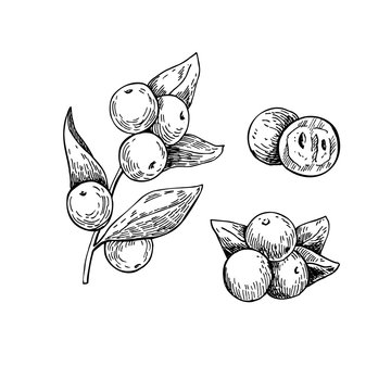 Camu camu vector superfood drawing. Isolated hand drawn  illustr