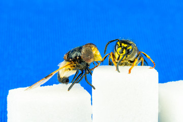 Close up of rough fly and a wasp sitting on sugar cubes next to each other with blue background.