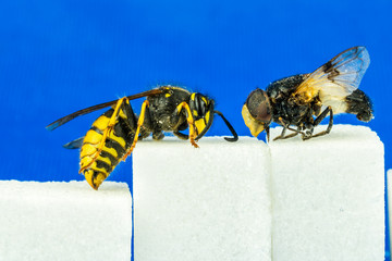 Close up of rough fly and a wasp sitting on sugar cubes next to each other with blue background. Profile view.
