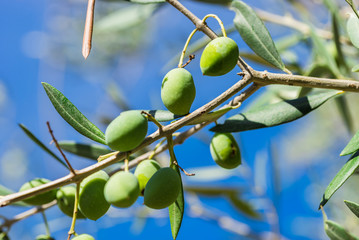 Fototapete - Grüne Oliven am Baum