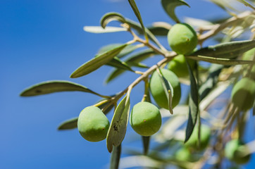 Wall Mural - Olives fruit