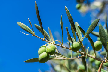 Fototapete - Olives tree branch