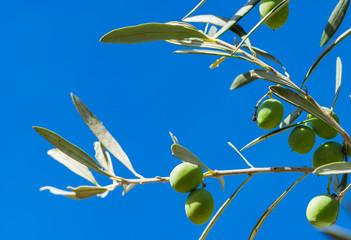 Fototapete - Oliven Baum Zweig Frucht