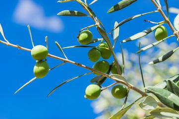 Fototapete - Olivenzweig Blätter Oliven Grün Früchte Ast