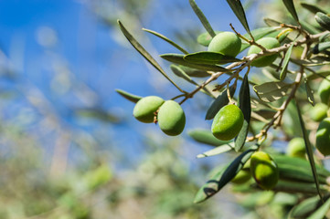 Fototapete - Olives at tree in a olive grove