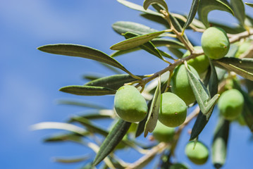 Fototapete - Olives mediterranean fruit at branch