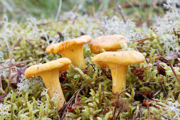 Group of chantarelles in moss