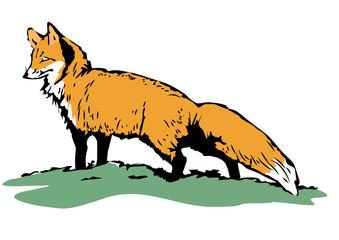 Fox sketch. Color hand drawn illustration