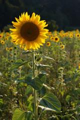 Sonnenblume im Sonnenblumenfeld bei abendlichem Gegenlicht