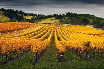 Wall Mural - Vineyard in Autumn