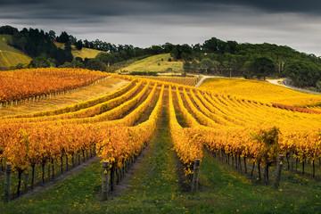 Fototapete - Vineyard in Autumn