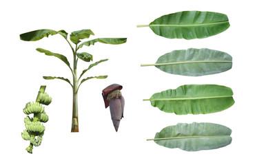 Set of banana tree isolated on white background.