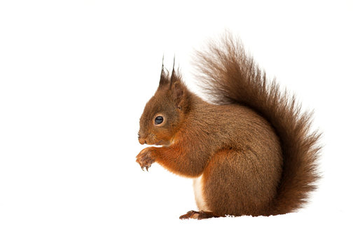 Red squirrel in front of white background
