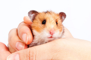 little hamster in the hands of man
